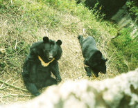 The Himalayan Black Bear seen here in the Himalayan Zoological Park.