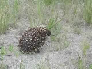 A French Island echidna building a defensive burrow (0:43s)