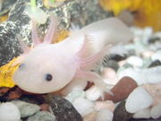 An axolotl or ambystoma mexicanum one of the endemic species of the lakes of the Valley of Mexico