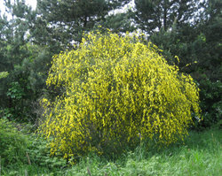 A broom shrub in flower