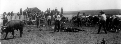 American Indian youths learning to brand cattle at the Seger Indian Industrial School near Colony—on the old Cheyenne-Arapaho reservation in Oklahoma Territory, ca. 1900.