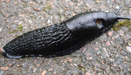 A black slug, Arion ater L., on a rock, with its pneumostome clearly visible.