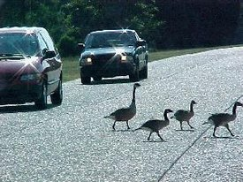 "Canadian geese as pedestrians have the right-of-way on the Colonial Parkway. The unusual unmarked pavement seems to have three lanes, with signs which warn ""Passing With Care"". Traffic safety for the wildlife and tourists on the low speed Parkway is provided by United States Park Police"