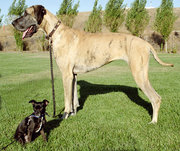 This Chihuahua mix and Great Dane show the wide range of dog breed sizes created using artificial selection.